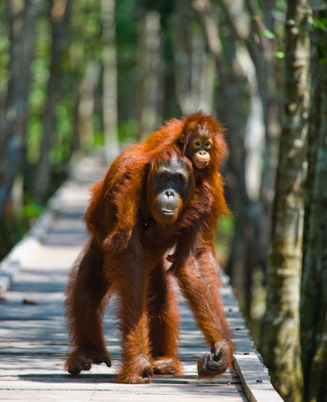Female of the orangutan with a baby are going on a wooden bridge in the jungle. Indonesia. The island of Kalimantan (Borneo). An excellent illustration.