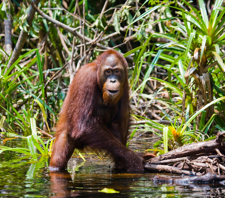Orangutan drinking water from the river in the jungle. Indonesia. The island of Kalimantan (Borneo). An excellent illustration.