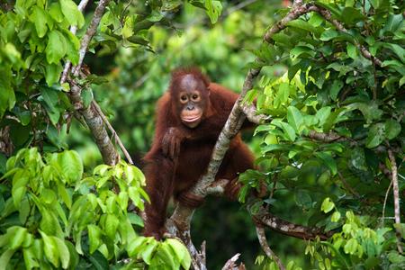 야생에서 아기 오랑우탄입니다. 인도네시아 공화국. 칼리만탄 섬 (보르네오). 훌륭한 그림.
