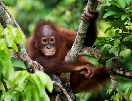 Un bebé orangután en la naturaleza. Indonesia. La isla de Kalimantan (Borneo). Una excelente ilustración. Foto de archivo - 65697576