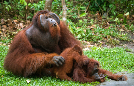 Old male orangutan makes love with a female. Indonesia. The island of Borneo (Kalimantan). An excellent illustration.