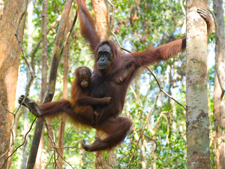 The female of the orangutan with a baby in a tree. Indonesia. The island of Kalimantan (Borneo). An excellent illustration.