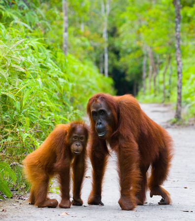 The female of the orangutan with a baby on a footpath. Funny pose. Rare picture. Indonesia. The island of Kalimantan (Borneo). An excellent illustration. Stock Photo