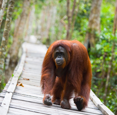 Orangutan walking on a wooden bridge in the jungle. Indonesia. The island of Kalimantan (Borneo). An excellent illustration. Stock Photo