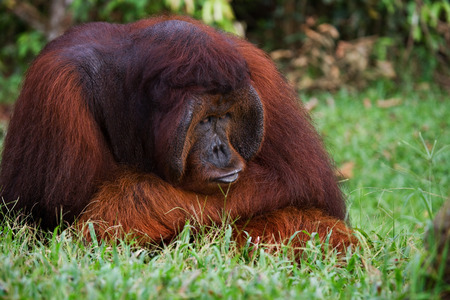 Old male orangutan lying on the grass. Funny pose. Indonesia. The island of Kalimantan (Borneo). An excellent illustration.
