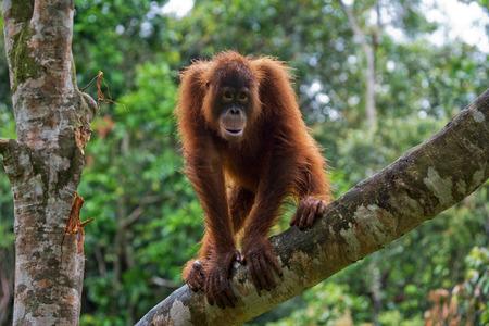 野生のオランウータン。インドネシア。カリマンタン島 (ボルネオ島)。優秀なイラスト。 写真素材
