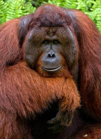 남성 오랑우탄의 초상화입니다. 닫다. 인도네시아 공화국. 칼리만탄 섬 (보르네오). 훌륭한 그림. 스톡 콘텐츠