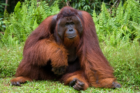 A big dominant male sitting on the grass. Indonesia. The island of Kalimantan (Borneo). An excellent illustration. Stock Photo