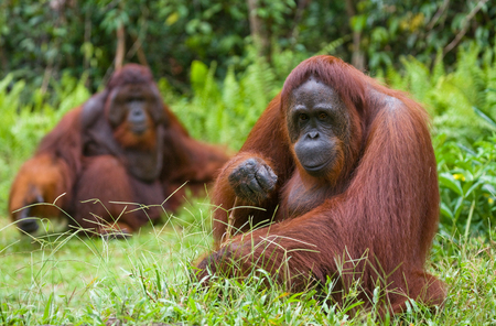 Female and male orangutan sitting on the grass. Indonesia. The island of Kalimantan (Borneo). An excellent illustration.