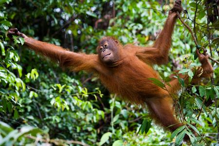 야생에서 오랑우탄입니다. 인도네시아 공화국. 칼리만탄 섬 (보르네오). 훌륭한 그림.