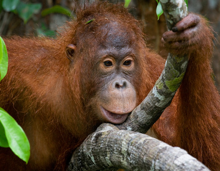 rain forest animal: Portrait of a male orangutan. Close-up. Indonesia. The island of Kalimantan (Borneo). An excellent illustration.