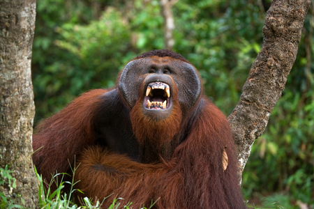 dominant: Dominant male orangutan yawns. Indonesia. The island of Kalimantan (Borneo). An excellent illustration.