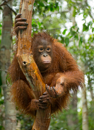 rain forest animal: A baby orangutan in the wild. Indonesia. The island of Kalimantan (Borneo). An excellent illustration.