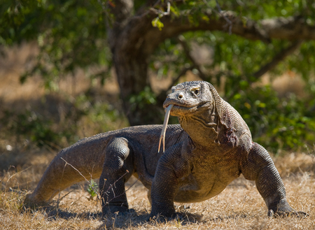 Dragon de Komodo est sur le terrain. Indonésie. Parc national de Komodo. Une excellente illustration. Banque d'images - 65698866