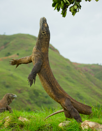 Komodo dragon is standing upright on their hind legs. Interesting perspective. The low point shooting. Indonesia. Komodo National Park. An excellent illustration. Stock Photo