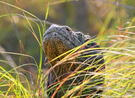 Portrait of a Komodo Dragon. Close-up. Indonesia. Komodo National Park. An excellent illustration.