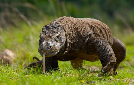코모도 드래곤이 땅에있다. 인도네시아 공화국. 코모도 국립 공원입니다. 훌륭한 그림.