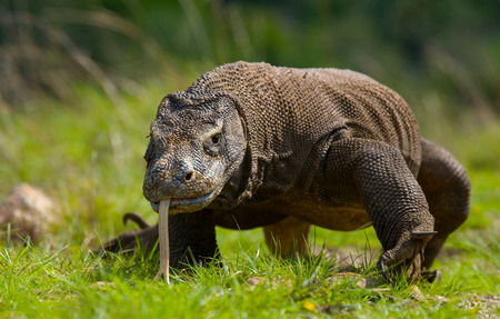 Komodo dragon is on the ground. Indonesia. Komodo National Park. An excellent illustration.