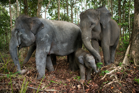 Three Asian elephant standing together. Indonesia. Sumatra. Way Kambas National Park. An excellent illustration.