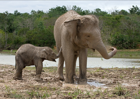 poaching: Baby with mum of the Asian elephant. Indonesia. Sumatra. Way Kambas National Park. An excellent illustration. Stock Photo