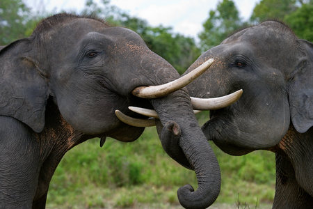 poaching: Two Asian elephants playing with each other. Indonesia. Sumatra. Way Kambas National Park. An excellent illustration.