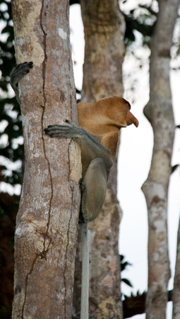 proboscis: The proboscis monkey is sitting on a tree in the jungle. Indonesia. The island of Borneo (Kalimantan). An excellent illustration.