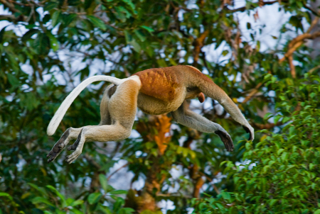 proboscis: The proboscis monkey is jumping from tree to tree in the jungle. Indonesia. The island of Borneo (Kalimantan). An excellent illustration.
