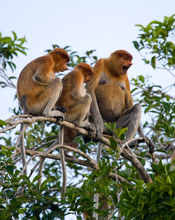Family of proboscis monkeys sitting in a tree in the jungle. Indonesia. The island of Borneo (Kalimantan). An excellent illustration.