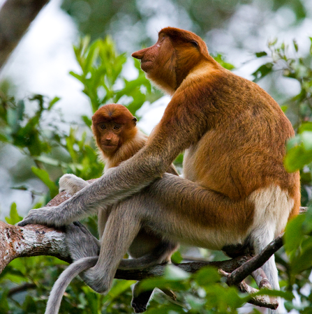 proboscis: The female proboscis monkey with a baby sits on a tree in the jungle. Indonesia. The island of Borneo (Kalimantan). An excellent illustration. Stock Photo