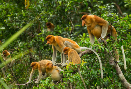 proboscis: Family of proboscis monkeys sitting in a tree in the jungle. Indonesia. The island of Borneo (Kalimantan). An excellent illustration.
