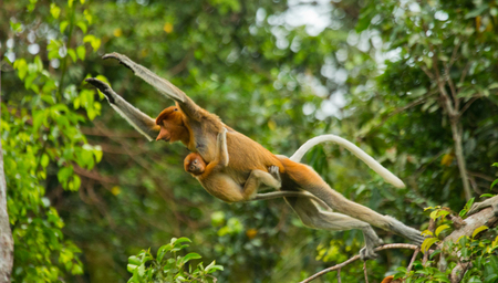 proboscis: The female proboscis monkey with a baby of jumping from tree to tree in the jungle. Indonesia. The island of Borneo (Kalimantan). An excellent illustration. Stock Photo