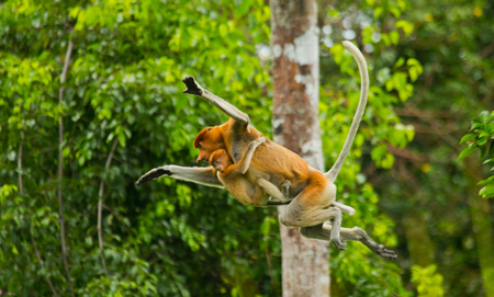 rain forest animal: The female proboscis monkey with a baby of jumping from tree to tree in the jungle. Indonesia. The island of Borneo (Kalimantan). An excellent illustration. Stock Photo