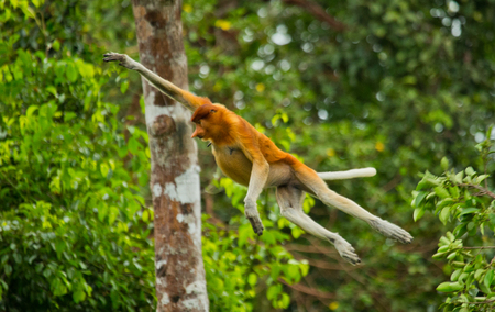 The proboscis monkey is jumping from tree to tree in the jungle. Indonesia. The island of Borneo (Kalimantan). An excellent illustration.