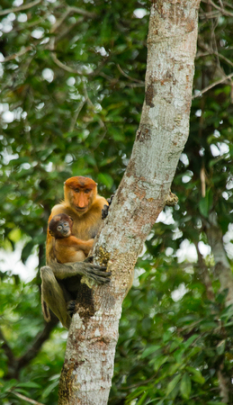 The female proboscis monkey with a baby sits on a tree in the jungle. Indonesia. The island of Borneo (Kalimantan). An excellent illustration. Stock Photo