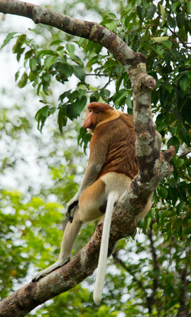 The proboscis monkey is sitting on a tree in the jungle. Indonesia. The island of Borneo (Kalimantan). An excellent illustration.