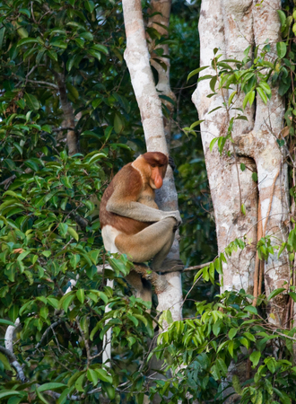 rain forest animal: The proboscis monkey is sitting on a tree in the jungle. Indonesia. The island of Borneo (Kalimantan). An excellent illustration.