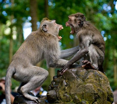 Two macaques play each other in the temple. Indonesia. The island of Bali. An excellent illustration.