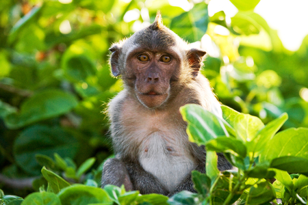 Macaque sitting on a tree. Indonesia. The island of Bali. An excellent illustration. Stock Photo