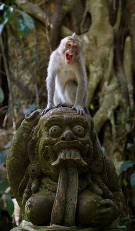 primacy: Macaque sitting on stones in the temple. Indonesia. The island of Bali. An excellent illustration.