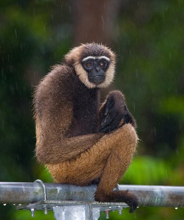 Portrait of Gibbon. Close-up. Indonesia. The island of Kalimantan (Borneo). An excellent illustration. Stock Photo