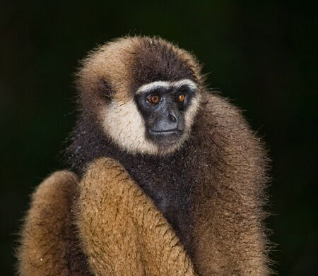 primacy: Portrait of Gibbon. Close-up. Indonesia. The island of Kalimantan (Borneo). An excellent illustration. Stock Photo