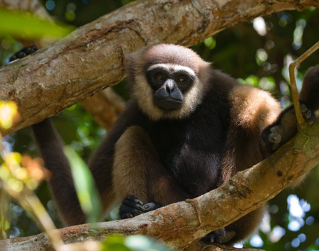 primacy: Gibbon sitting on the tree. Indonesia. The island of Kalimantan (Borneo). An excellent illustration.