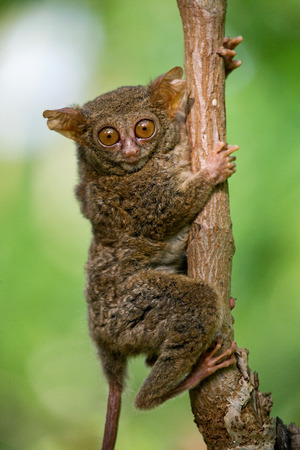 primacy: Tarsius sits on a tree in the jungle. close-up. Indonesia. Sulawesi Island. An excellent illustration.