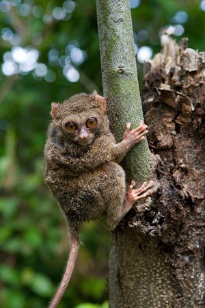 Tarsius はジャングルの中で木の上に座っています。クローズ アップ。インドネシア。スラウェシ島。優秀なイラスト。 写真素材