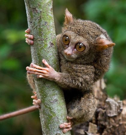Tarsius는 정글에있는 나무에 앉아있다. 닫다. 인도네시아 공화국. 술라웨시 섬. 훌륭한 그림.