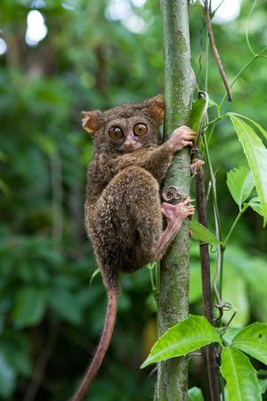 안경 원숭이 속 정글에서 나무에 앉아있다. 닫다. 인도네시아 공화국. 술라웨시 섬. 훌륭한 그림입니다. 스톡 콘텐츠