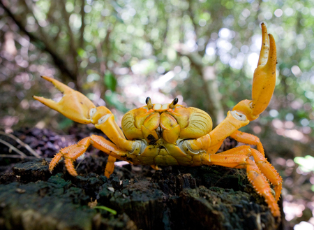 behavior: Land crab spread its claws. Cuba. An excellent illustration. Unusual angle. Stock Photo