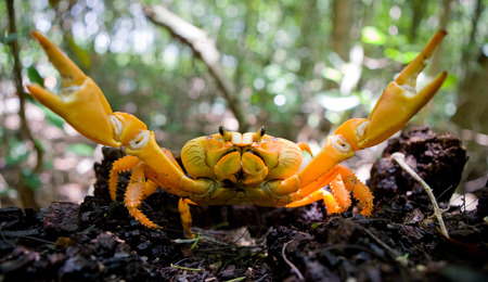 Land crab spread its claws. Cuba. An excellent illustration. Unusual angle. Stock Photo