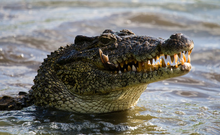 The Cuban crocodile jumps out of the water. A rare photograph. Cuba. An excellent illustration. Unusual angle. Stock Photo