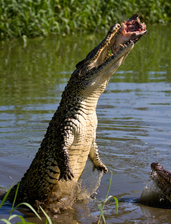 alligators: The Cuban crocodile jumps out of the water. A rare photograph. Cuba. An excellent illustration. Unusual angle. Stock Photo